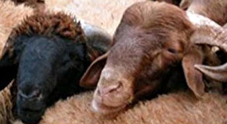 Avec Lotfi Akalay, le mouton n'est jamais à la fête…